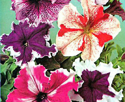 Annuals 1000 seeds from bonsai_seeds - BALCONY FLOWER - PETUNIA SUPERBISSI#11173
