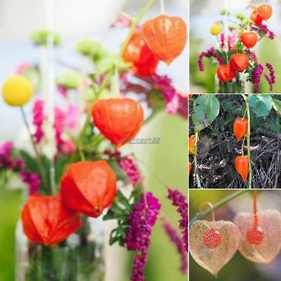 50PCS Lantern Fruit Seeds Perennial Physalis Cape Gooseberry Seeds Garden OK