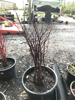 Japanese Maple Tree - Okagami - 1m tall - BARE ROOTED SALE