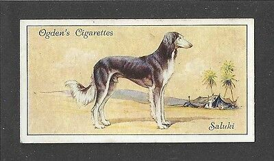 1936 UK Dog Art Body Portrait Ogdens Cigarette Card Grizzle Feathered SALUKI