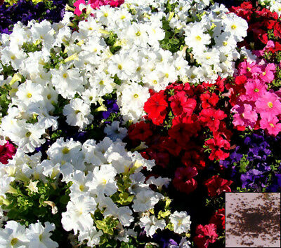 Annuals 1000 seeds from bonsai_seeds - BALCONY FLOWER - PETUNIA DELUXE MIX#11186
