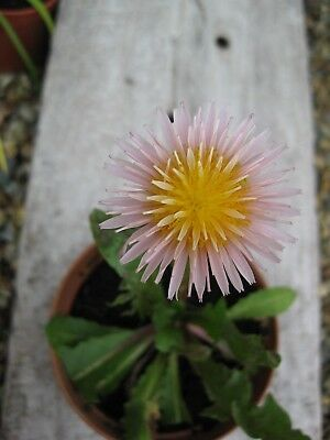 RARE Pack of 30 Pink & Yellow Dandelion seeds - Taraxacum pseudoroseum