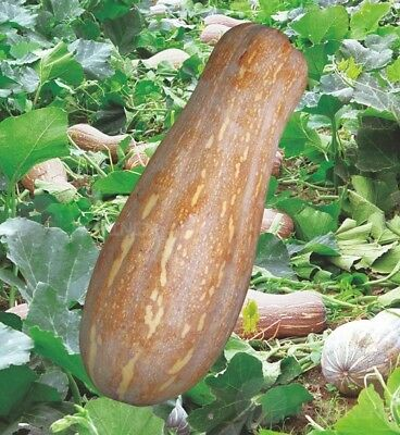 honey sweet pumpkin Vegetable Melon seed 8 seeds Cushaw cuaurbit