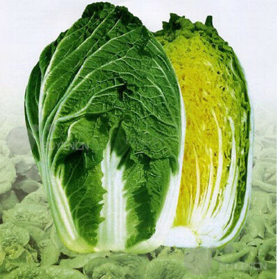 Chinese cabbage Vegetable seed 20 seeds celery cabbage Brassica pekinensis