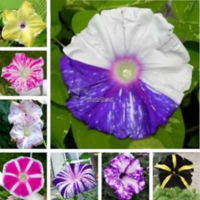 MORNING GLORY MIX TRICOLOR DWARF 20 SEEDS Open Pollinated Ipomoea WST