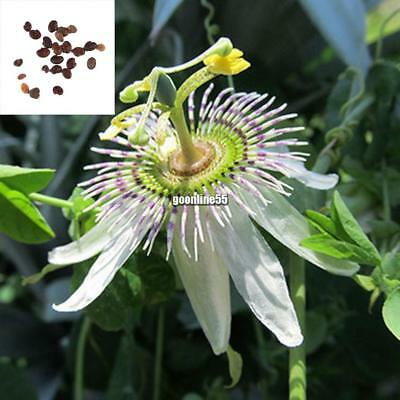 Perennial Edible Fruit Seeds Home Garden Bonsai Passiflora Passion Flower EA9