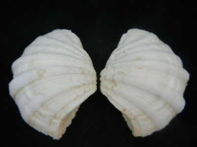 Bear Paw Giant Clam Seashell Matched Pair Tridacna Hippopus 6 inches