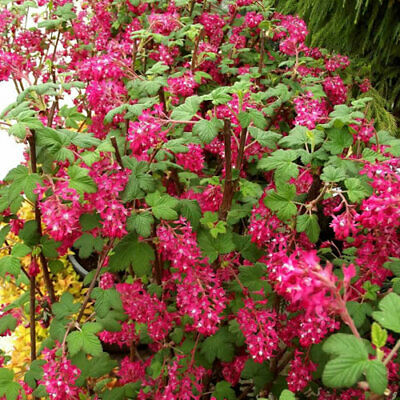 1 X Ribes 'king Edward Vii' Flowering Currant Deciduous Shrub Hardy Plant In Pot