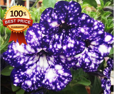 200pc++ Blue Sky Petunia Seeds Annual Blue Petals White Flower Seed!! HOT HOT