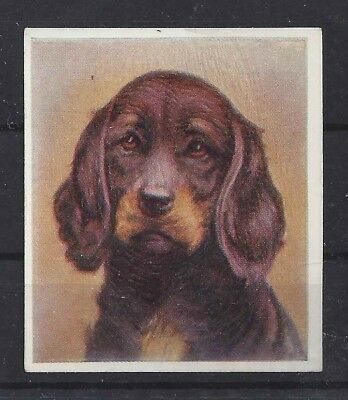 Rare 1939 UK Godfrey Phillips Our Dogs Dog Art Cigarette Card GORDON SETTER