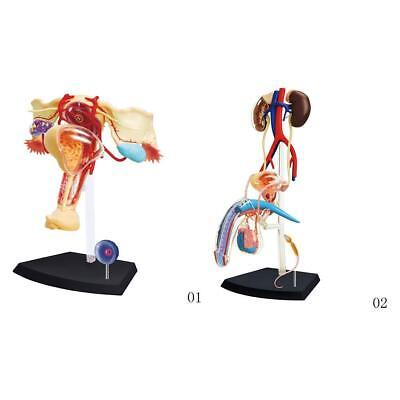 Male Female Reproductive & Urinary System HUMAN ANATOMY MODEL4D Kit