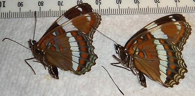 Nymphalidae 2 Limenitis arthemis White Admiral Butterflies Wisconsin #F70 Insect