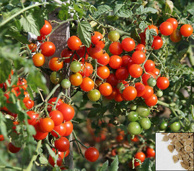 Vegetable 130 seeds from bonsai_seeds - CHERRY TOMATO - RED CORAL #11191