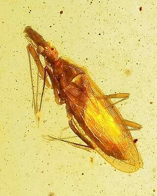 Cretaceous very rare lace bug burmite  Myanmar Amber  Fossil insect dn1sc
