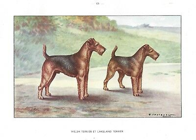 1930 Art Watercolor Castellan France Dog Portrait Print LAKELAND WELSH TERRIER