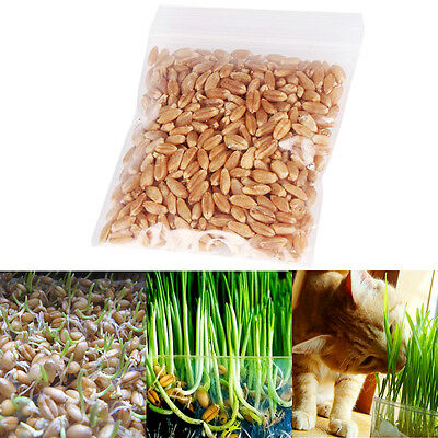 1oz/approx800 seeds harvested cat grass 100% Green including growing gu.AU