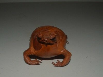 Taxidermy Bullfrog in Excellent Condition