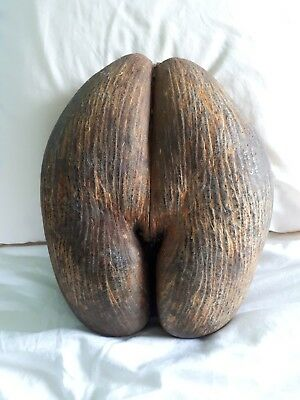 Genuine Seychelles Coco de Mer seed. Very large (see photos).