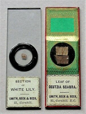 Pair Antique Microscope Slides by SMITH,BECK & BECK of LILY and DEUTZIA SCABRA