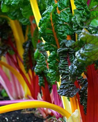 6pcs  package Vegetable Swiss Chard Seeds Calico Rainbow Beet Seed