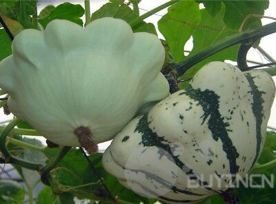 White saucer pumpkin Seed 8 seeds Cucurbita garden yard patio melon balcony