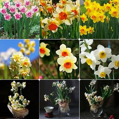 400 Pcs Double Narcissus Bulbs Scented Pastel Mixed Daffodil Flower Plant Seeds