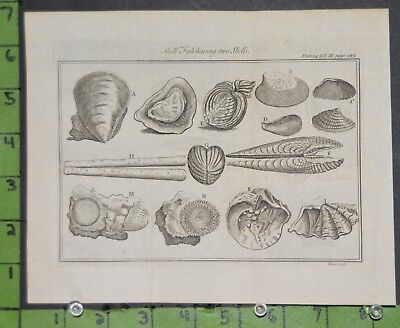 Antique 1743 Engraving of Sea Shells