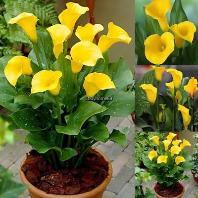 New Nice Adorable Flower Fragrant Blooms Yellow Calla Seeds EHE8