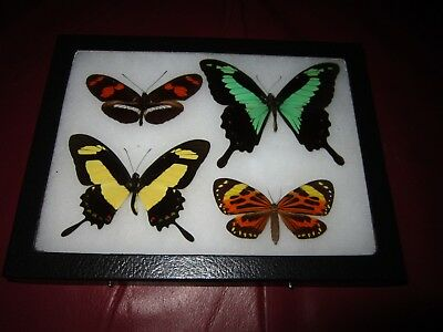 4 real  butterflies  mounted framed 6x8 riker display lepidoptera #insect1