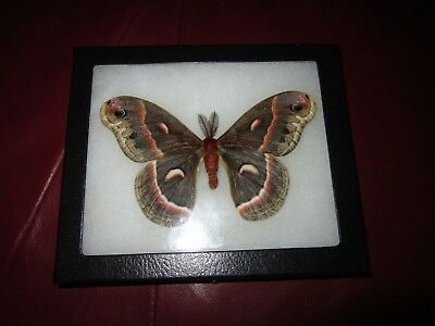 """saturniidae cecropia moth  mounted  framed 5 x 6""""  display. #insect21"""