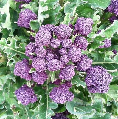 BROCCOLI - Purple Sprouting 100+ seeds-  HEIRLOOM