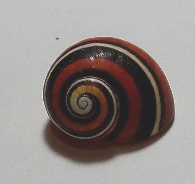 Polymita ] Beautiful Land Snail 23.26 Mm [ Old Collection ]