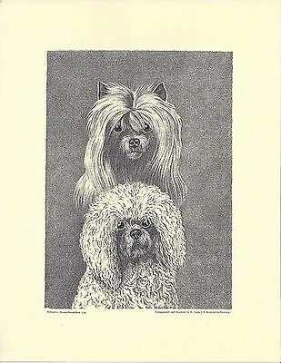 1890 Jean Bungartz Dog Art Head Print Reproduction CHINESE CRESTED BICHON FRISE