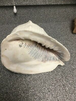 Giant Queen Helmet Conch Shell Seashell -10 Inches- GREAT NAUTICAL DECOR