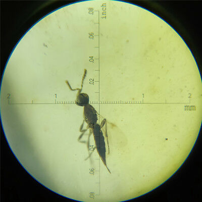 3.35ct Natural Burmite Amber 100 million years old fossil Insect (Untreated)