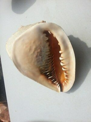 Large Real Queen Helmet Conch Shell