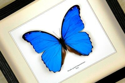 Morpho godarti tingomariensis -  real framed butterfly insect taxidermy