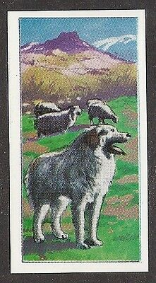 1970 UK Molassine - Vims Art Trade Card GREAT PYRENEES Pyrenean Mountain Dog