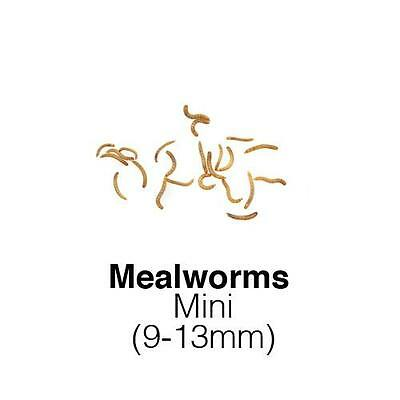 Live Mini Mealworms 55g tub reptile bird food treats Livefoods Direct