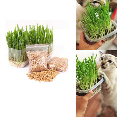 150 gms Sweet Oat Barley Grass Seeds Cultivate Grown for Cats/ other Pets Health