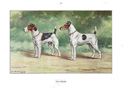 1930 Art Watercolor Castellan France Dog Print SMOOTH / WIRE HAIRED FOX TERRIER