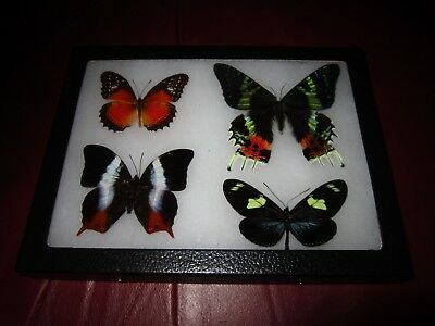 real  butterflies MOTH  mounted framed 6x8 riker collection lepidoptera #XO9