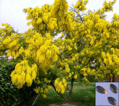 SILVER WATTLE - Yellow mimosa - Acacia Dealbata - 40 SEEDS - tree seeds #3751