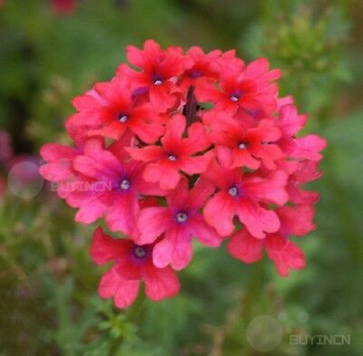 Verbena hybrida Flower seed 30 seeds hybrida garden yard patio balcony Bonsai