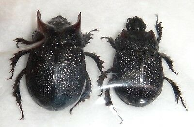 Geotrupidae Frickius variolosus Pair 16mm Chile Horned Scarab Beetle Insect Bug