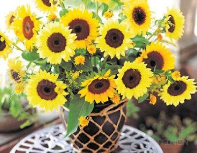 cut-flower sunflower Flower seed 20 seeds turnsole Helianthus Annual annus