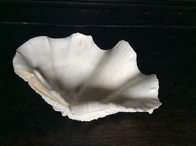Beautiful Giant Clam Natural Sea Shell Tridacna