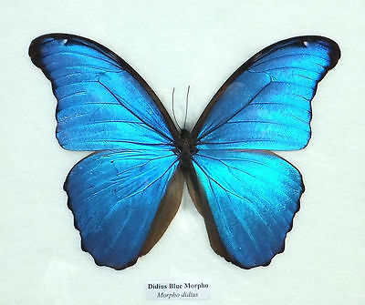 Real Giant Blue Morpho Butterfly In Framed Display Insect Taxidermy Gift