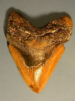 Huge 6 Inch  Megalodon Shark Tooth Fossil
