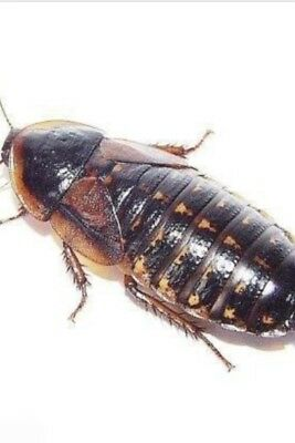 dubia roaches 50x Adults +6 For Free.             50/50 Fem/male